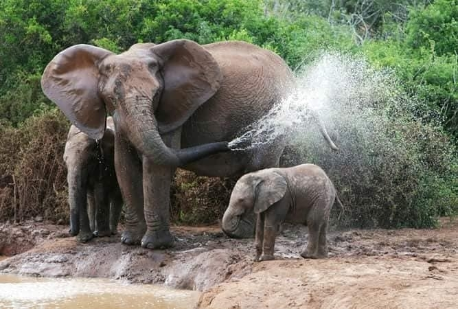 Wild African Elephants keeping cool near a water hole. As with most animals, the young are most susceptible - but elephant mothers are very attentive to their needs. The young will also seek shade under their mother's tummy. Photo credit unknown