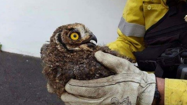 Juvenile Cape Eagle Owl rescued by firefighters in South Africa