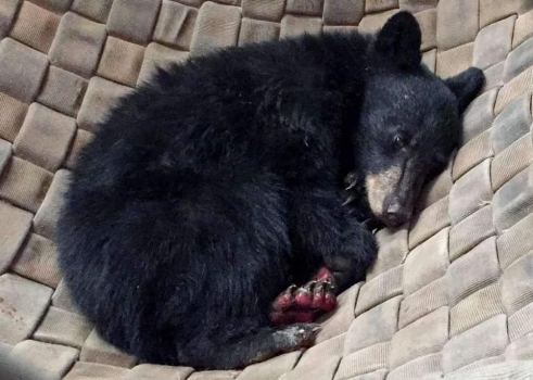 Black Bear cub with badly burned paw pads, found in the California Carr Fire. The bear received fish skin grafts. He was lying in ashes when found. His paws were so badly burned, he couldn't walk. Thank goodness for good Samaritans.