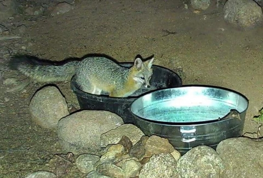 A coyote takes a dip within basins put out for the wildlife to refuel with