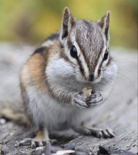 Least Chipmunk.  Photo by Kimberly Epp