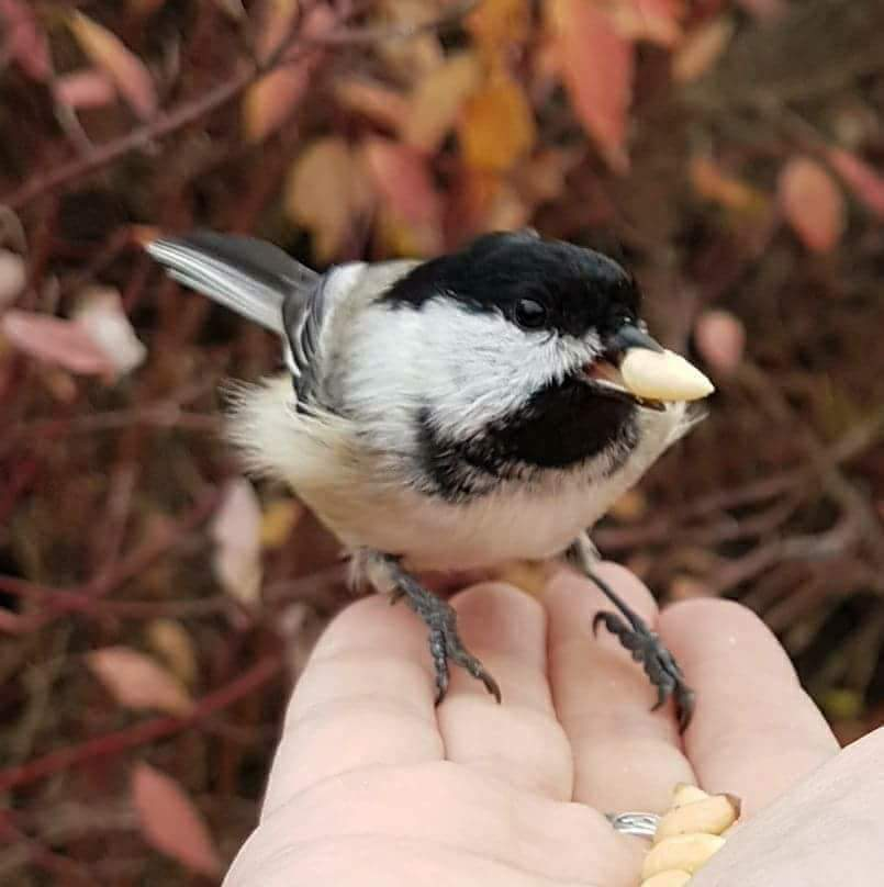 Black capped chickadee being hand fed (Photo by Kim Epp)