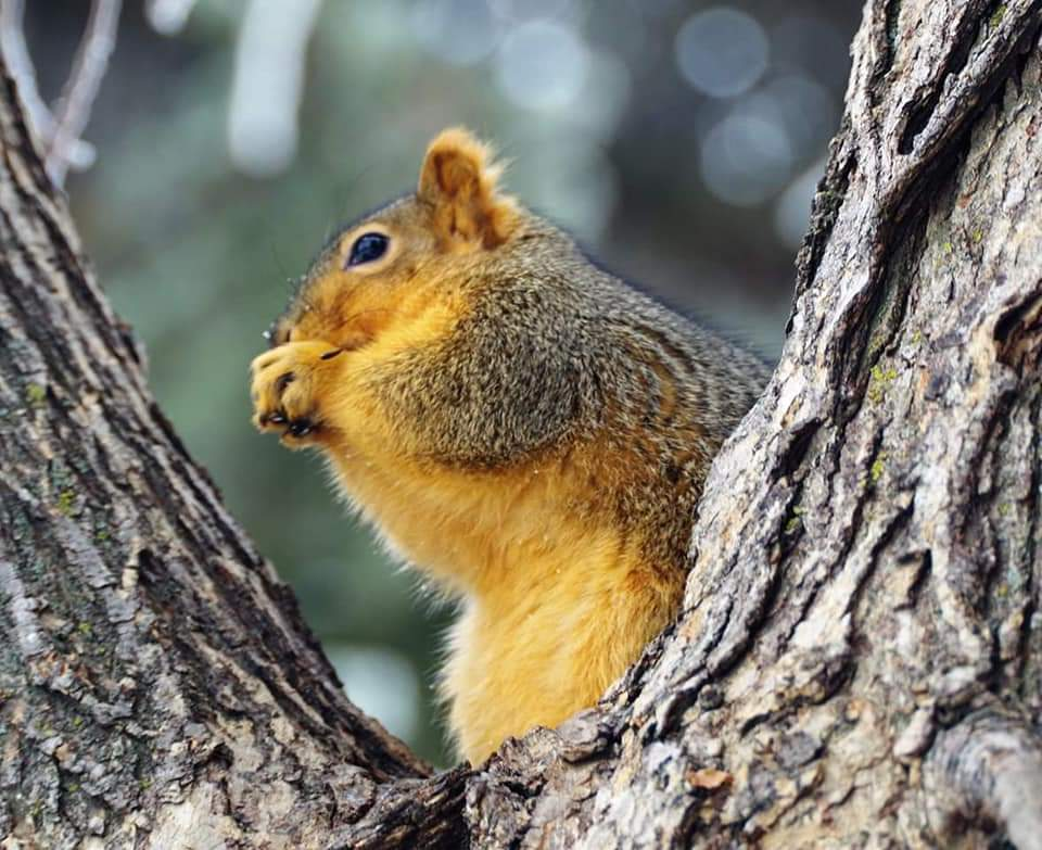 Mu Fox Squirrel, Tawny Bear. (Photo by Kim Epp)