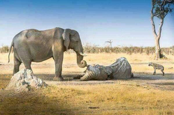 An elephant stops to mourn one of his departed comrades - source unknown