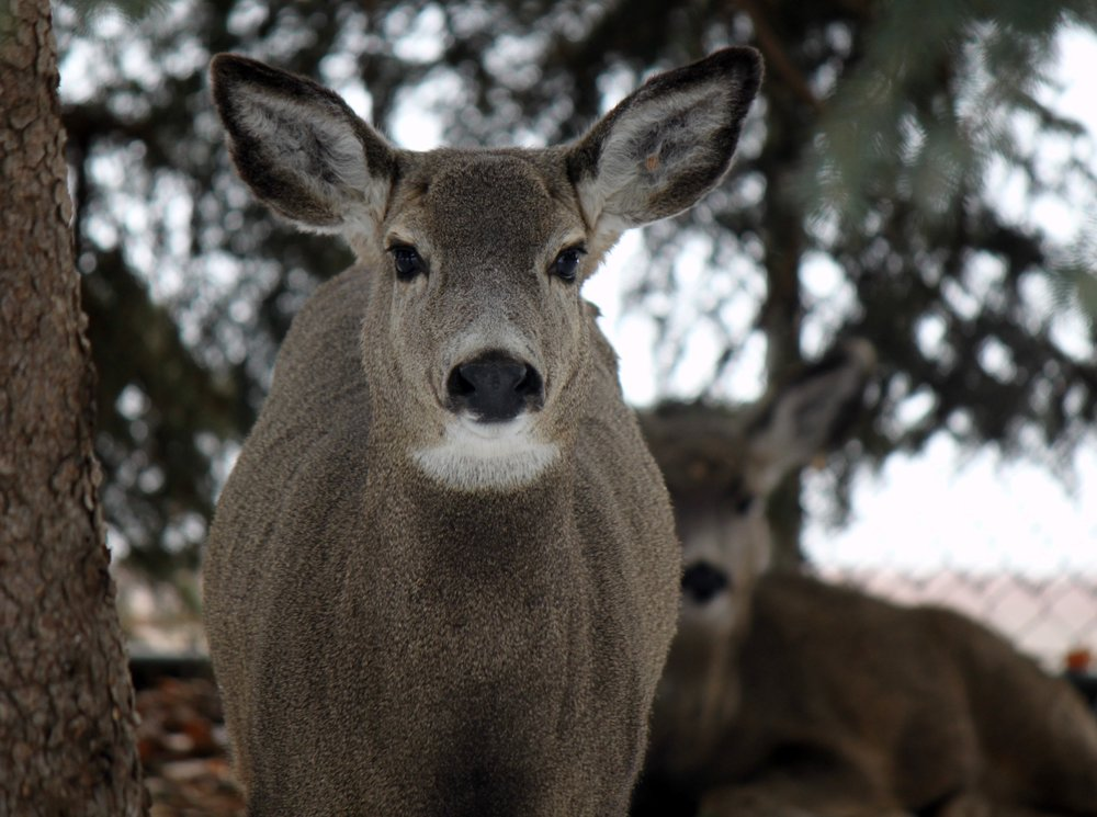 Mule Deer bedding down near the tennis courts within Crescent Park - Kim Epp Photo