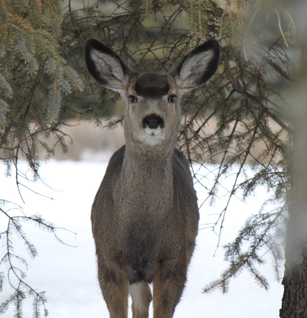 Framed with the evergreens, this Muley looked up at me as she was feeding - Photo By Kim Epp
