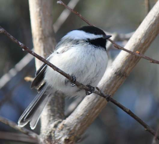 Black-capped Chickadee, Wakamow. Photo by Kimberly Epp