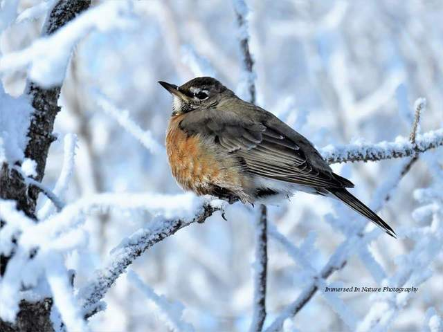 American Robin, Saskatoon. Photo by Delores Burkart