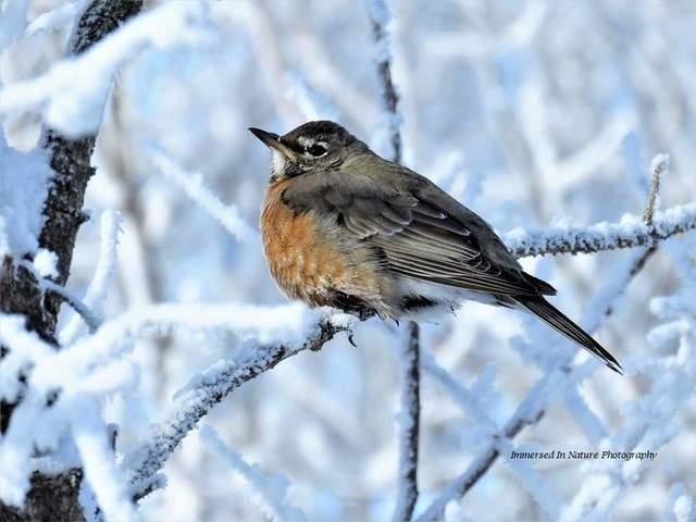 American Robin, Saskatoon. Photo by Delores Burkart