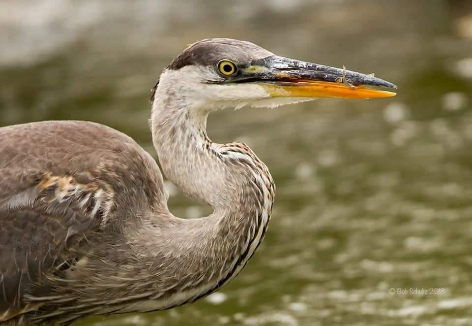 Great Blue Heron, a common site at Buffalo Pound - Bob Schultz Photo