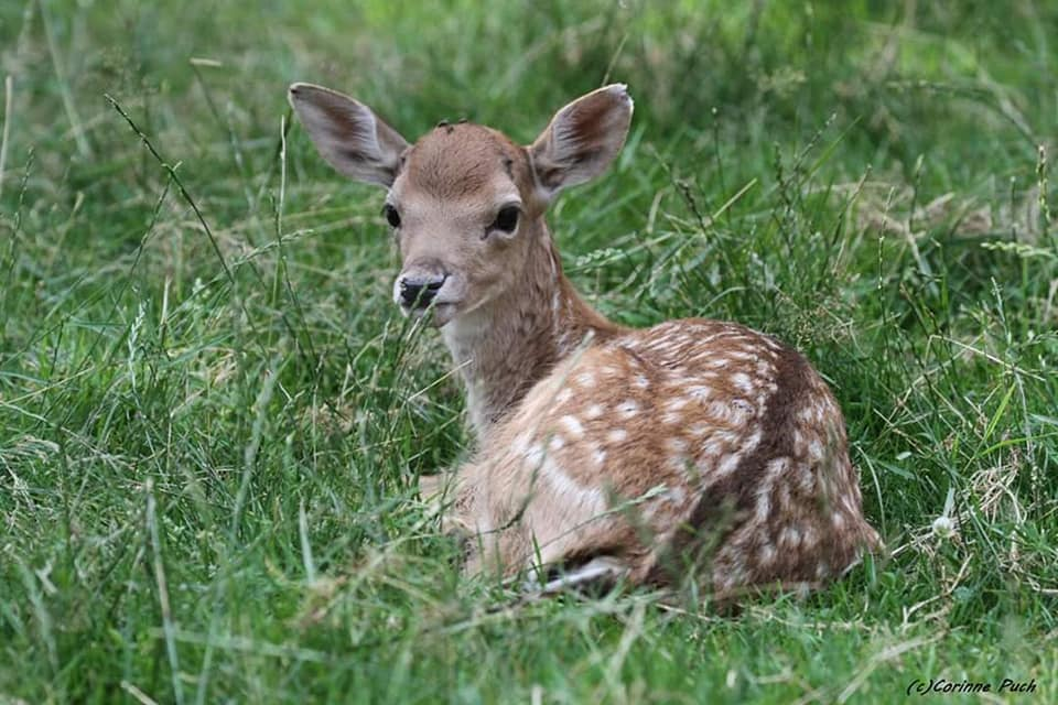 nature fawn.jpg