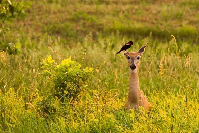 A Red-winged Blackbird picks off engorged ticks from the head of a White-tailed Deer. Both bird and deer benefit as the bird gets a meal while the deer gets parasites removed. This is an example of a symbiotic relationship (Photo by Naomi Ballard).