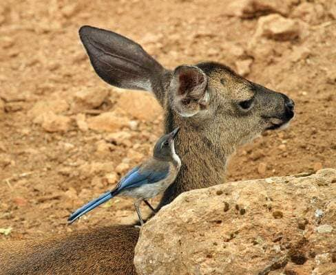 A Western Scrub Jay cleans the ticks off of this deer (Photo by Vicki Miller).