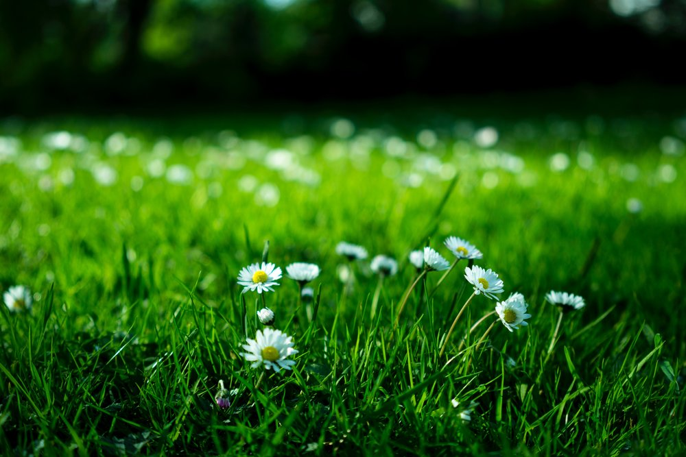 White daisies on a lawn seems better than the yellow of dandelions