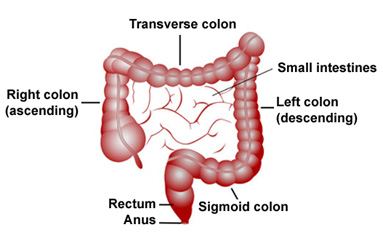 The left side of the colon has four sections: the descending colon, the sigmoid colon, the rectum, and the anus. © 2018 Cedars-Sinai.