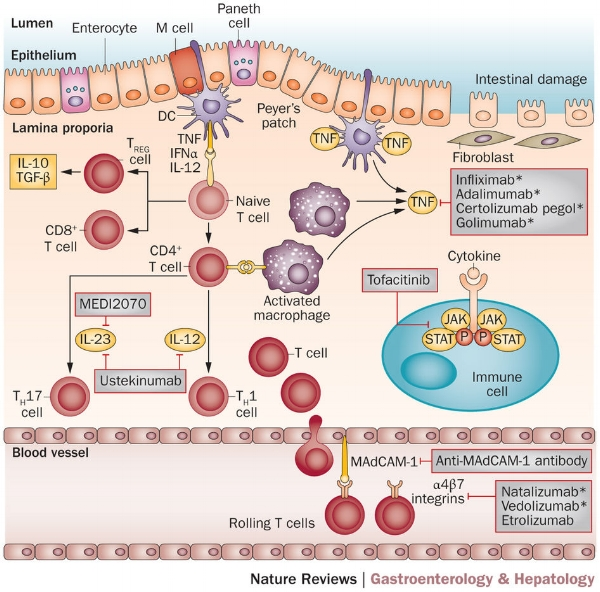 The immune response leading to intestinal inflammation in active inflammatory bowel disease consists of a variety of pro-inflammatory factors, including the cytokines TNA-α and interleukins, as well as the activation of multiple types of white blood cells (mainly various T cells). Each of these molecules and associated cell receptors represent potential targets for IBD therapies. The top section of this figure shows targets and associated drugs in the intestinal mucosa (anti-TNFs and anti-interleukins). The bottom section shows targets in the bordering blood vessels (anti-integrins). Image taken from Danese, S., Vuitton, L., and Peyrin-Biroulet, L. Biologic agents for IBD: practical insights.  Nature Reviews Gastroenterology & Hepatology  12, pages 537–545 (2015). doi:10.1038/nrgastro.2015.135.