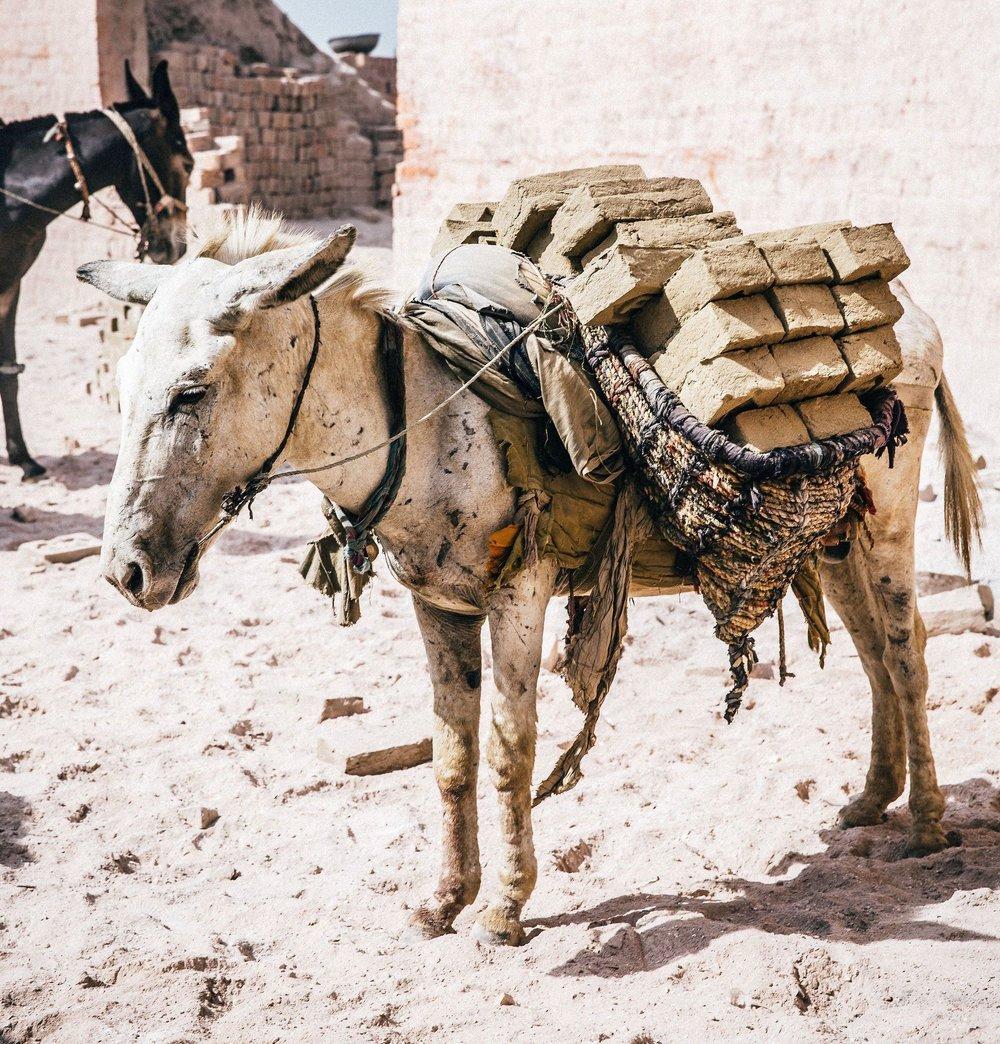 donkey swollen legs wounded brick kiln.jpg