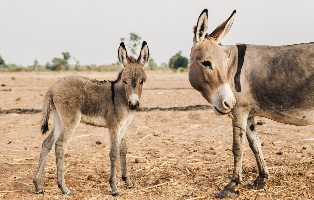 Donate Today - Your donation will benefit working horses, donkeys and mules as well as the people that depend on them in our projects worldwide.
