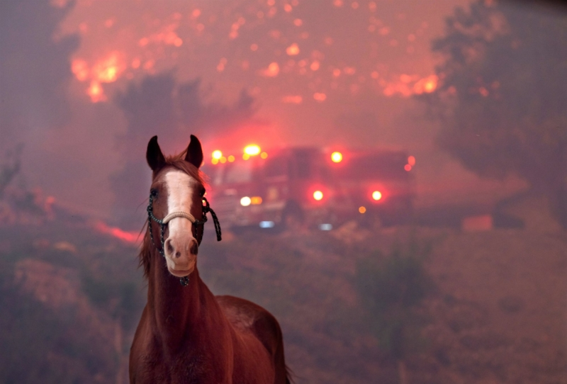 A horse is spooked as the Woolsey Fire moves through a property in Agoura Hills, California, on Nov. 9, 2018 . Matthew Simmons / Getty Images Source: NBC News ( https://www.nbcnews.com/news/us-news/california-wildfires-thousands-animals-displaced-fires-tear-through-communities-n935251 )