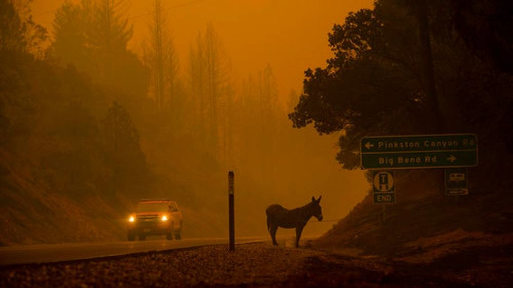 A donkey rests on a roadside as the Camp Fire burns in Big Bend, Calif., on Friday, Nov. 9, 2018.Noah BergerAP Photo