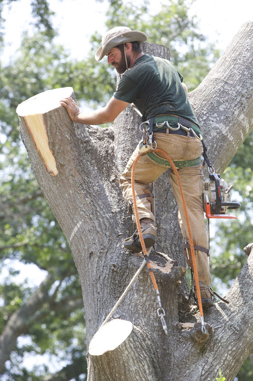Large Tree Removal: Water Oak