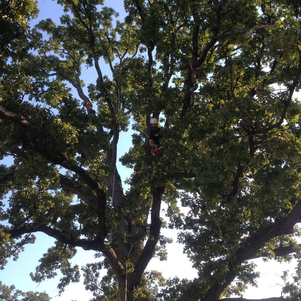 Hazard Pruning Historic Post Oak