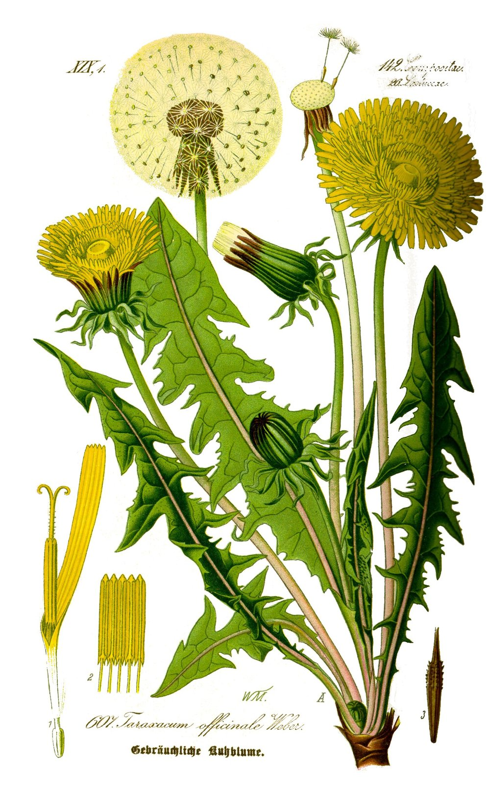Illustration_Taraxacum_officinale0_clean.jpg