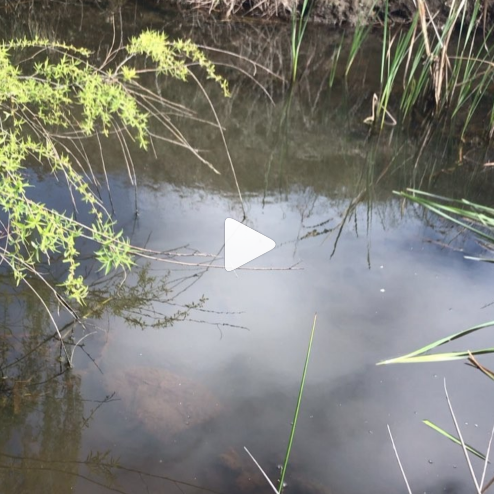 - Cumbunji.Typha sppAvailable now and for the next 6 weeks.Click to see video.