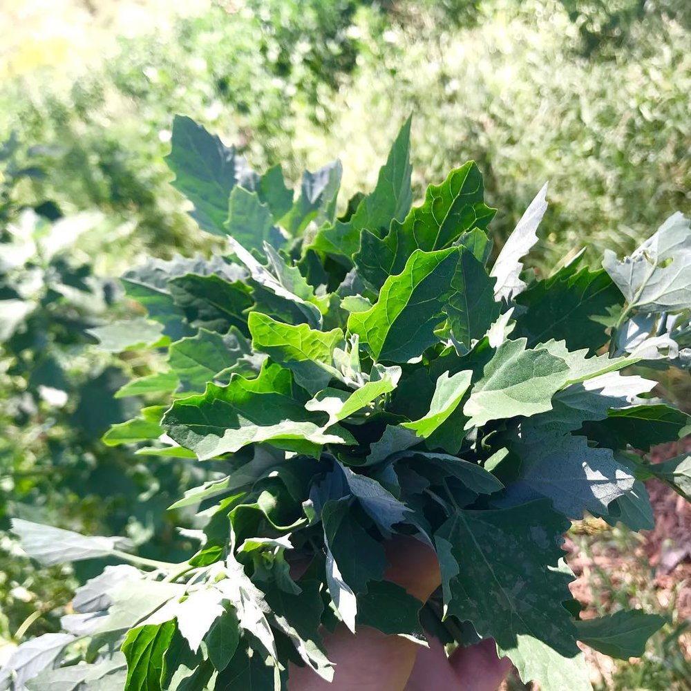 - Fat hen Chenopodium albumYoung shoots. Great looking greens that would lift your plates with a hint of old time flavours.35g 600ml punnetSee here for information about this amazing vegetable, staple food for thousands of years in Europe and North America.