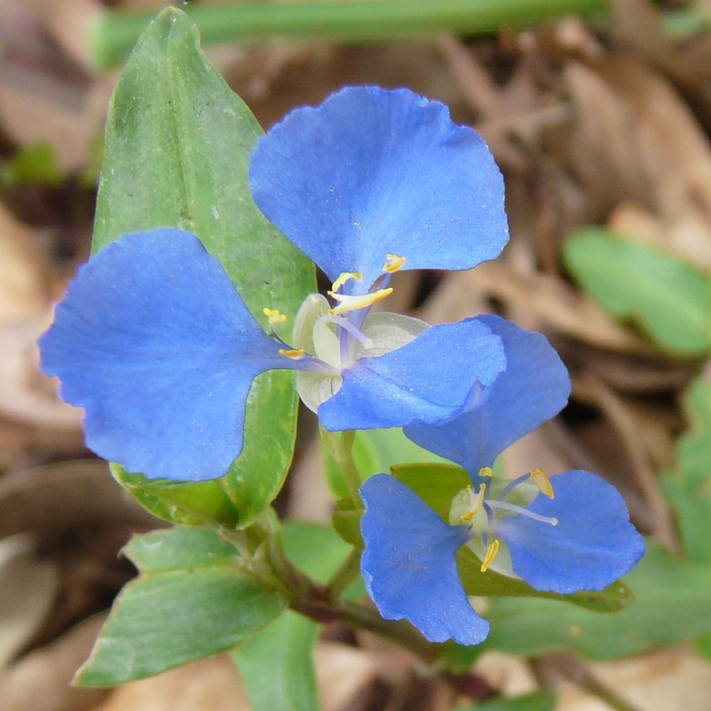 - Scurvy weed - Commelina cyaneaNative green, much appreciated as a vegetable in the early days of the colony.35g 600ml punnet