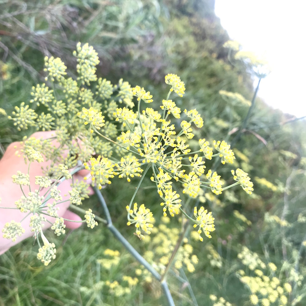 Wild fennel Flowerheads - Foeniculum vulgarePlenty to offer, at the moment sweet and falvoursome.25g 600ml punnet