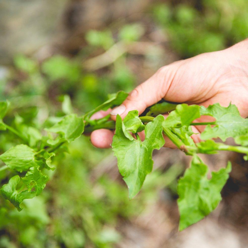 - Rambling dock – Acetosa sagittataPlenty to offer fresh young shoots. 25g 600ml punnet