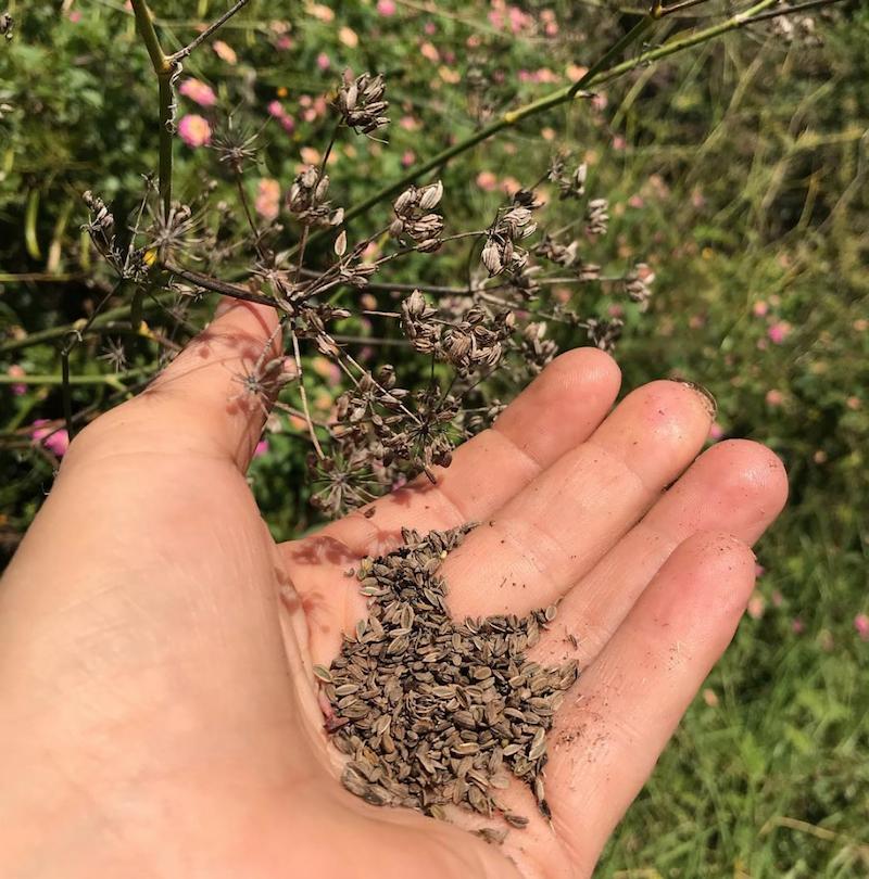 - Wild fennel seeds–Foeniculum vulgarePlenty to offer, the seeds are ready.25g 600ml punnet