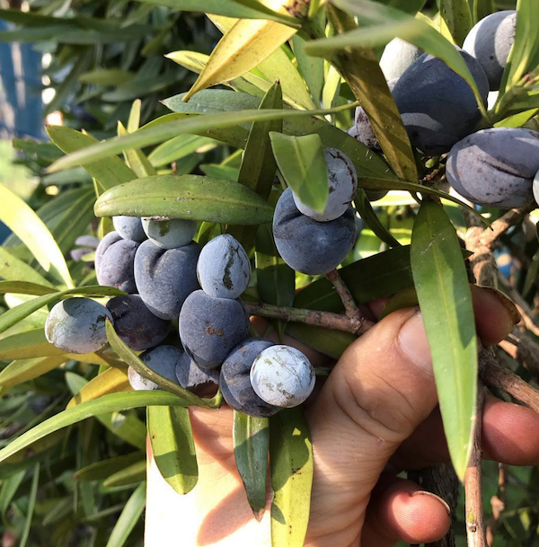 - Illawarra plumsPodocarpus elatusThis year we have some amazing Illawarra plums. Amazing colour, juicy, plumb and the highest content of antioxidants in the plant world. Try this local treat.Available in 300gms punnets or 600gms bags.