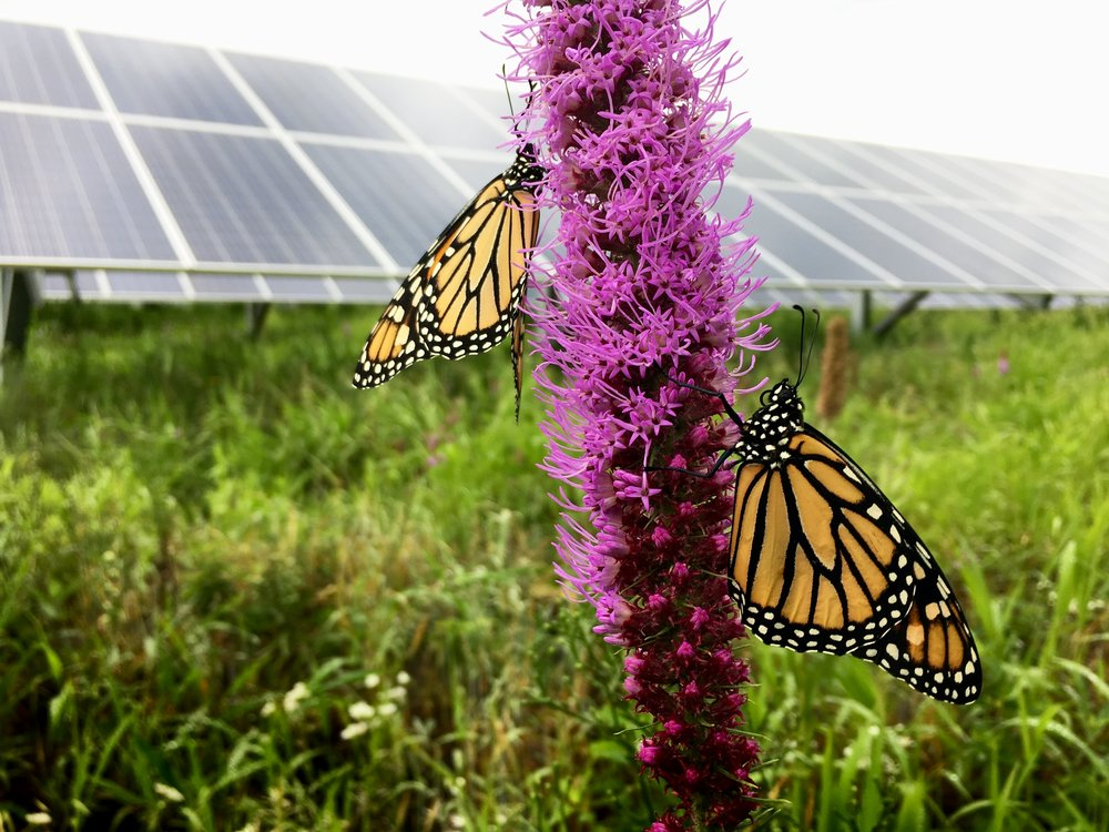 Bee Friendly Solar is comprised of three solar energy projects planned on private property in Lothian and Tracy's Landing with full support of each of the landowners. BGE customers will be eligible to receive savings on the clean energy produced from the projects. The site will be planted with pollinator-friendly native plants and flowers. Butterflies and bees are responsible for every third bite of food we eat. Suitable habitat is critical to healthy pollinator populations and successful crops, and the wildflower meadows are beautiful to the eye.