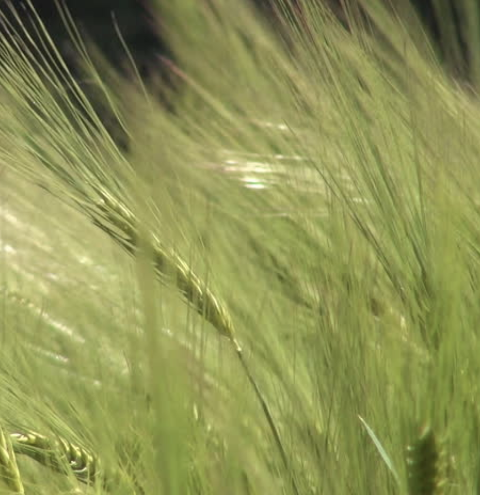 California oat grass.png