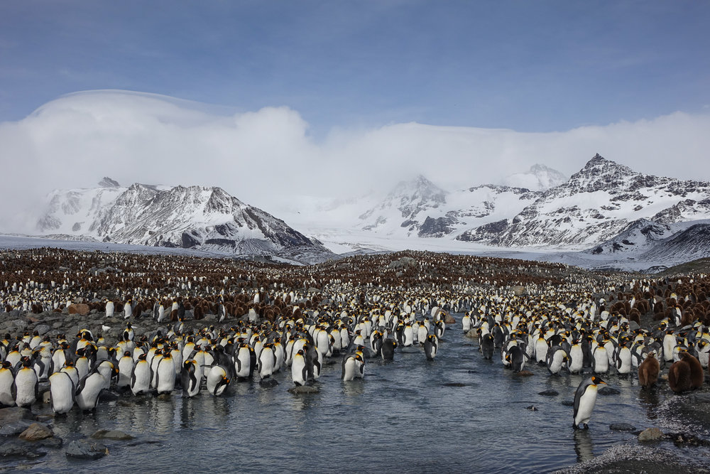 King penguin colony - St Andrew's Bay, South Georgia