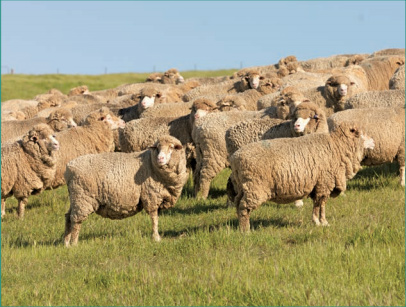 merino-wool-sheep.jpg