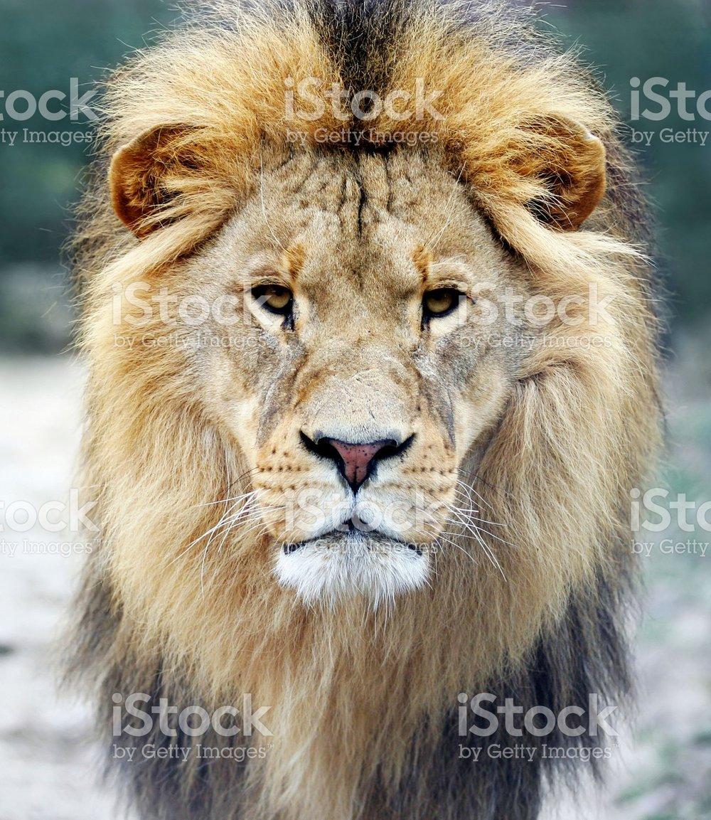 94323938-lion.jpg