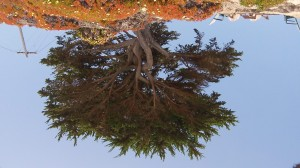 Upside Down Tree June 2012