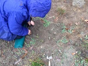 Shirley planting