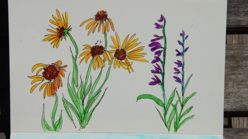 Colorado wildflower sketches