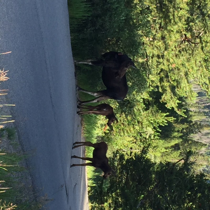 mama moose and her twin calves at Keystone