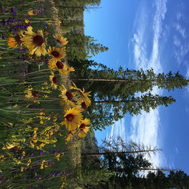 field of wildflowers Keystone Colorado July 2015
