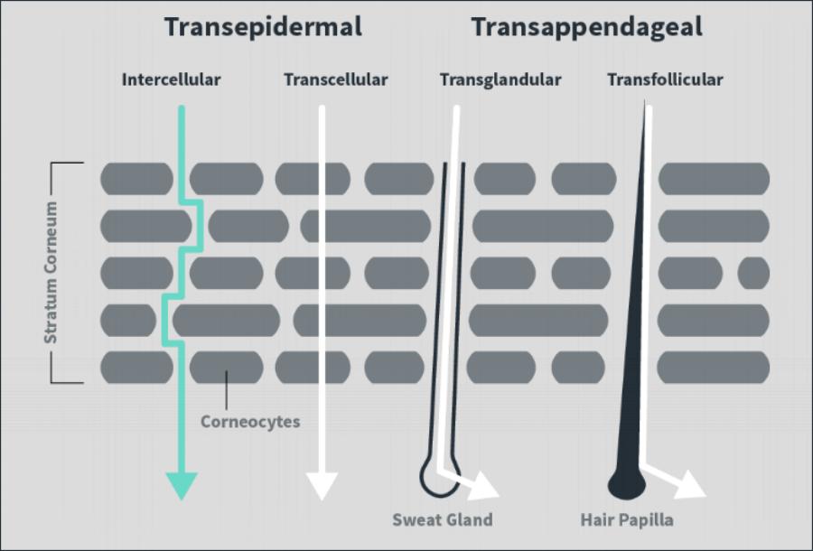 Skin pathway.png