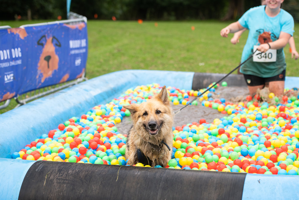DB-20180818-0724-8256 Cardiff smiling german shepherd in ball pit with owner.jpg