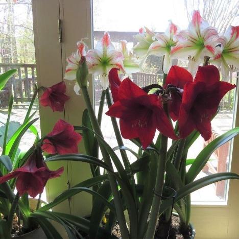 amaryllis1.jpg