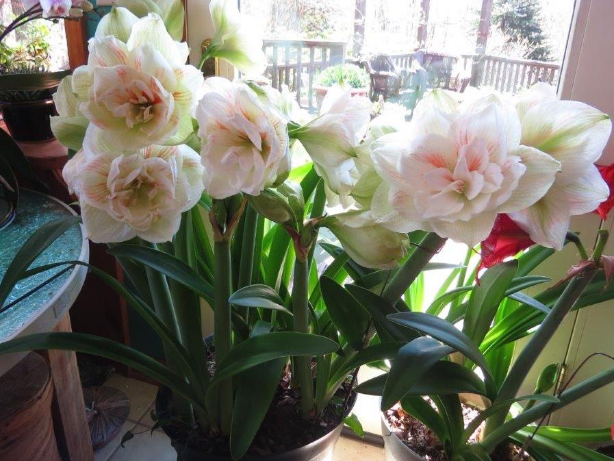 amaryllis2.jpg