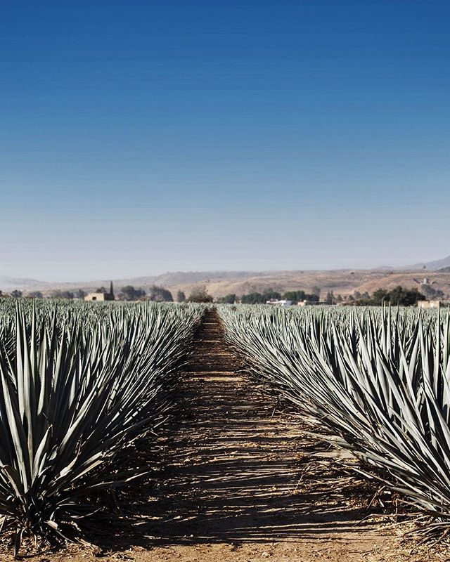 Fields of agave #Mexico #shootlocation #leilanidestination #leilaniaroundtheworld