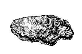 oyster sketch example.jpg